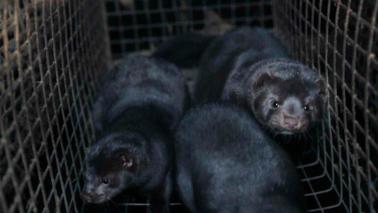 Read more about the article L'ignoble retour de la fourrure