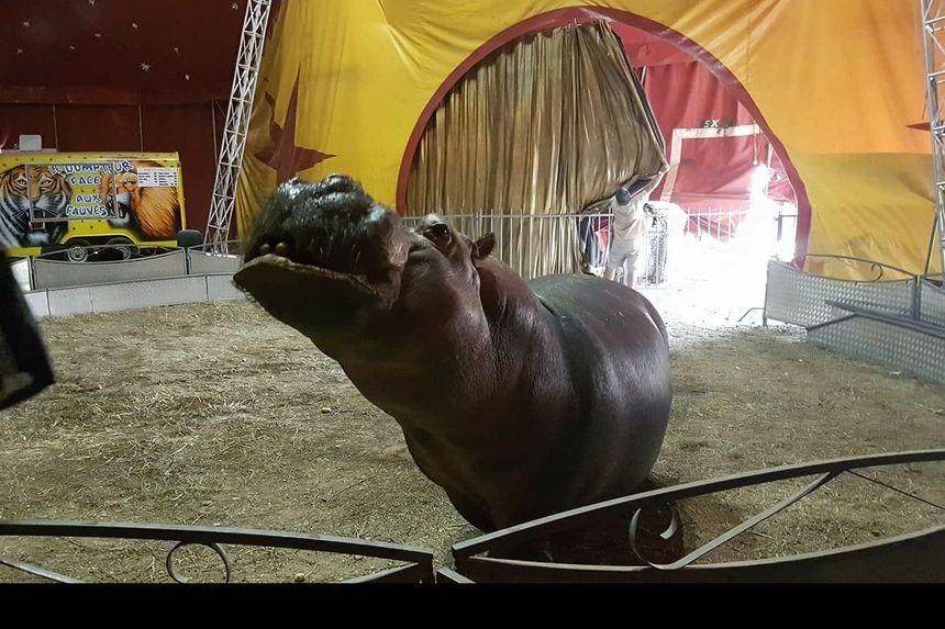 Read more about the article La pétition pour libérer Jumbo, l'hippopotame prisonnier d'un cirque