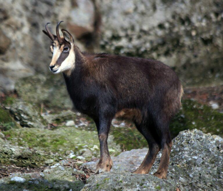 Read more about the article «Safari» chasse au chamois au Mont Ventoux
