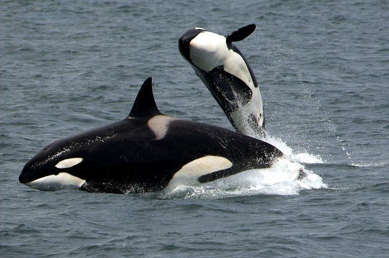 Read more about the article Transfert d'orques d'Antibes vers la Chine: la lettre de la biologiste Ingrid N. Visser au président