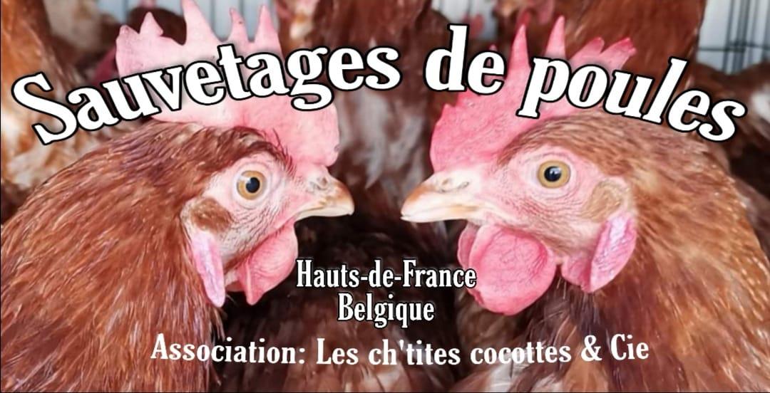 Read more about the article «Les ch'tites Cocottes de réforme», une association de sauvetage de poules