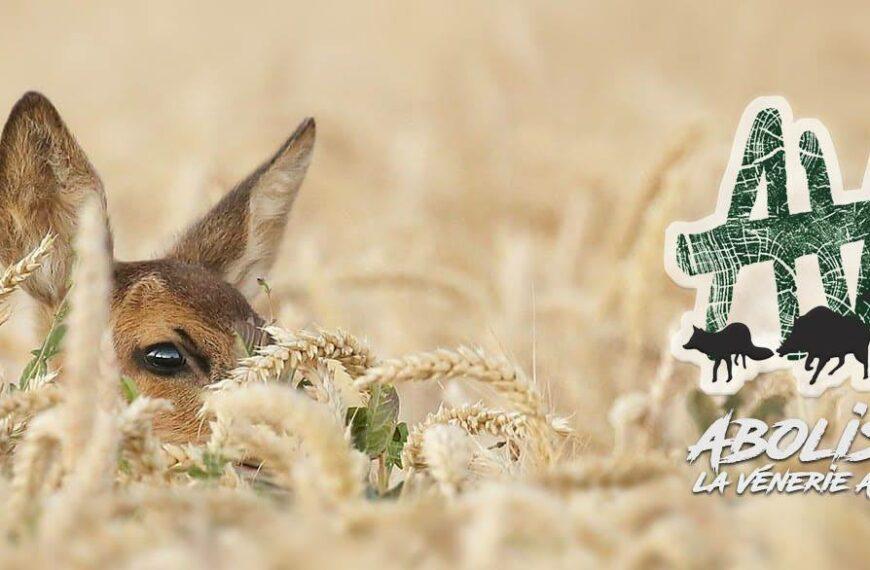 Vidéo «chasse à courre, les animaux traqués », par AVA