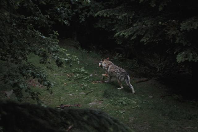 Read more about the article Comment le loup a été exterminé en France