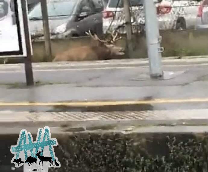 Chasse à courre: un cerf traqué jusque dans une gare