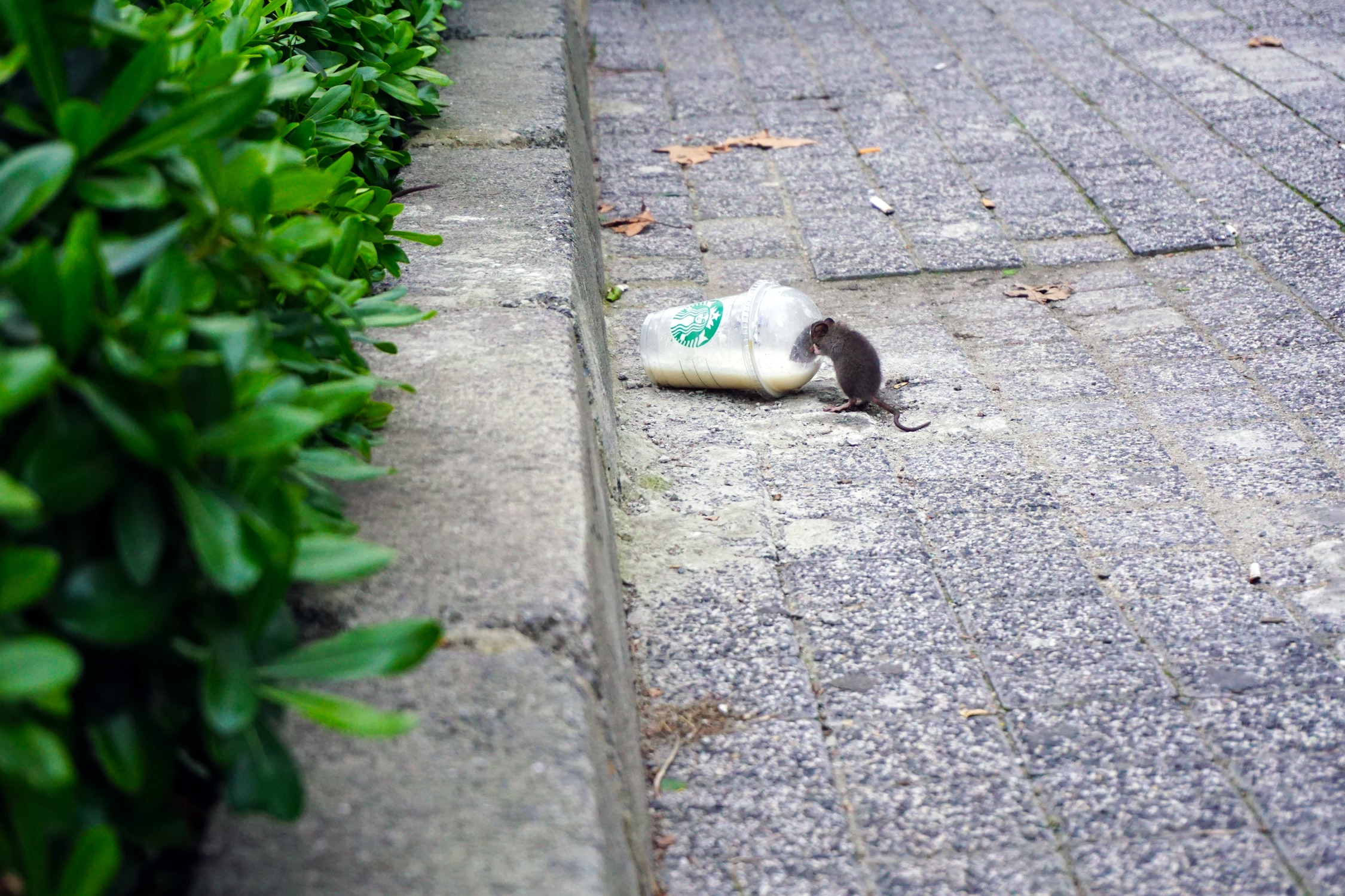 Read more about the article Le rat sauvé à Bensheim en Allemagne
